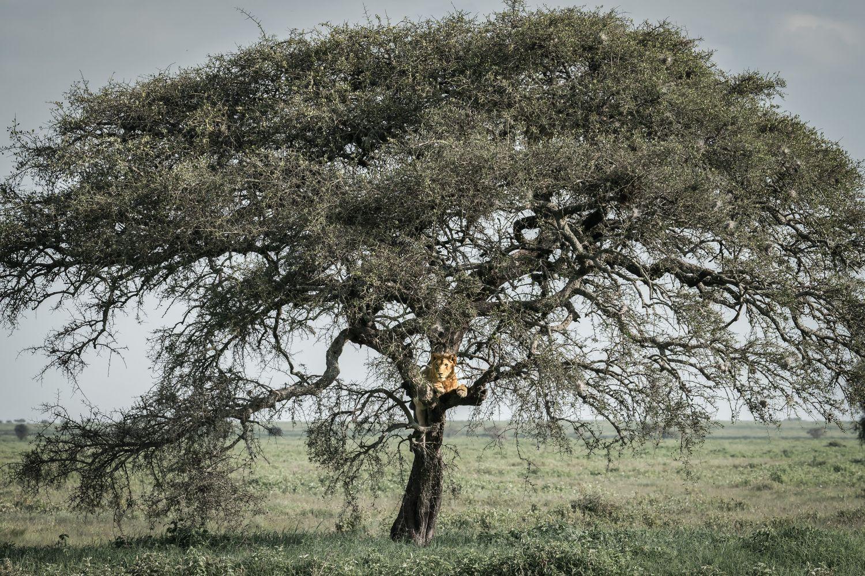 Lion_Full_Tree_3000.jpg