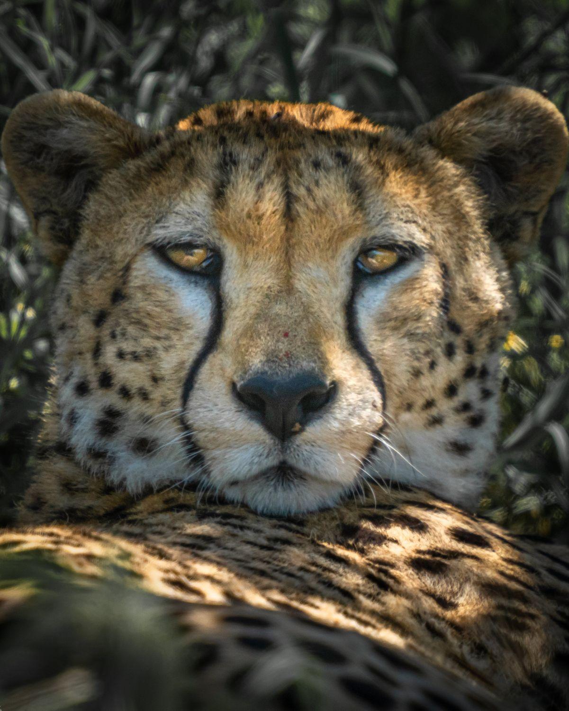 Low_Key_Cheetah_Color_3000.jpg