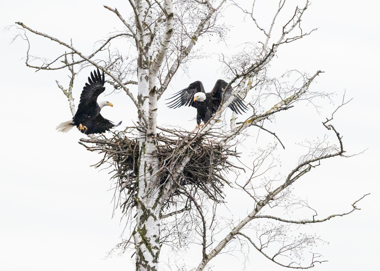 Nesting_Pair_3000.jpg