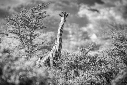 Sabi Sands Giraffe - On White