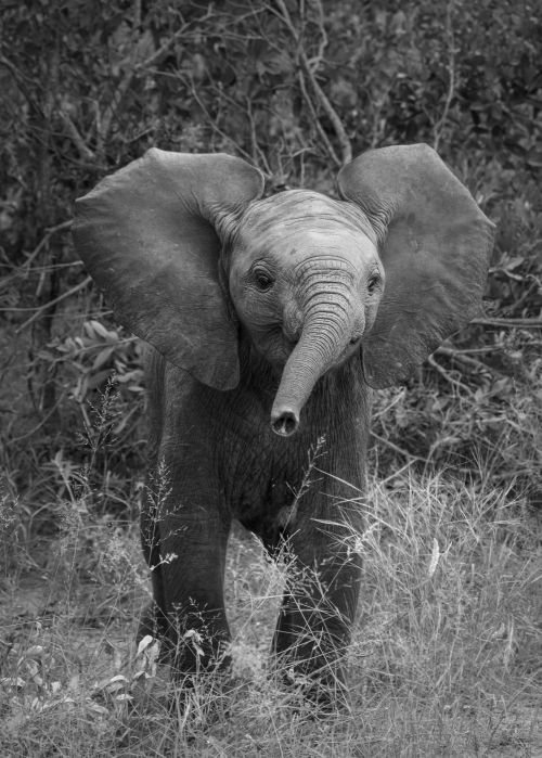 Baby Elephant Charges - On White