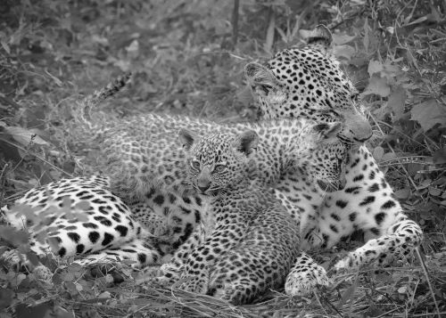 Basilia and Her Cubs - On White
