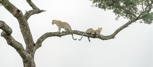 Arboreal Leopard Action Panorama - On White