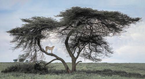 Chirpy Boy in the Serengeti - On White