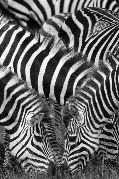 Zebra Reflections - On White