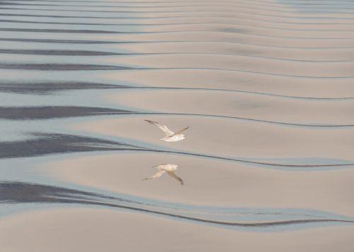 Fulmar Wave Form - On White