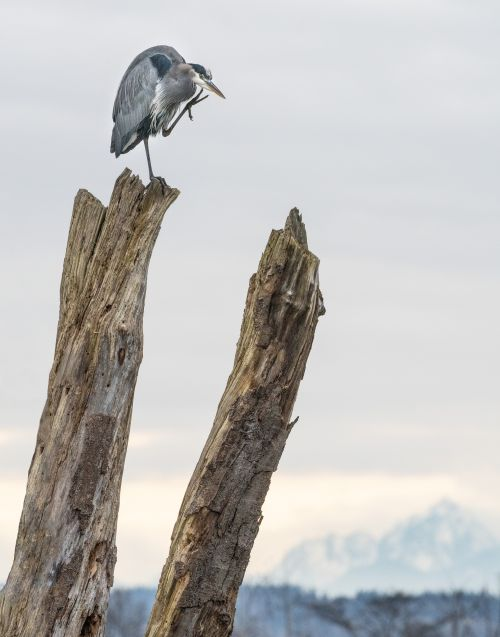 Olympic Great Blue Heron - On White