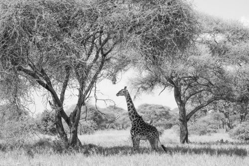 Tarangire Giraffe - On White