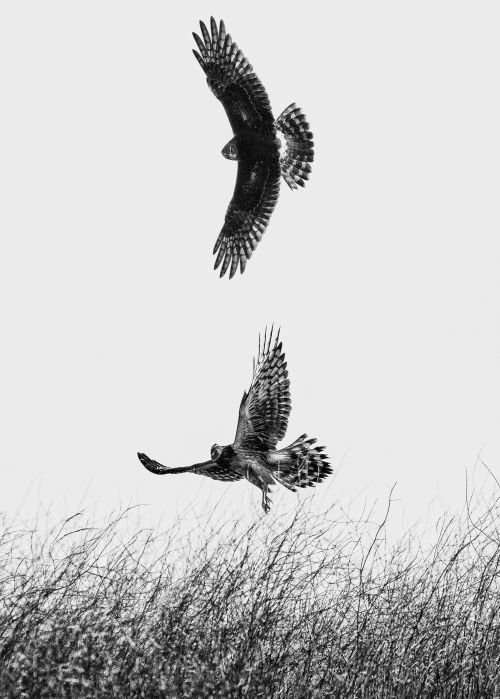 Great Northern Harriers - On White