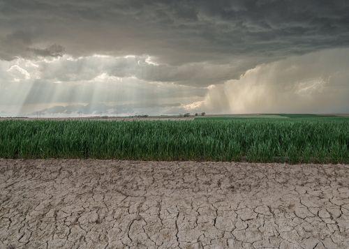 Wheat Field Americana - On White