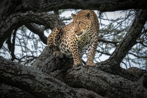 Southern Serengeti Spots - On White