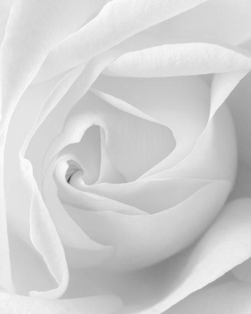 Rose Spiral (Black and White) - On White