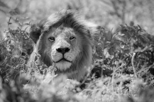 Lion In A Breeze - On White