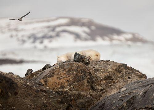 Sleepytime Polar Bear - On White