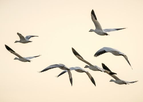 Snow Geese Sunset - On White