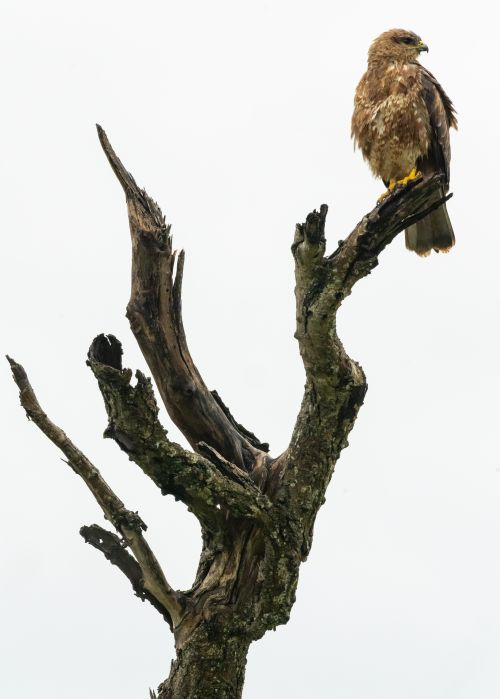 Perching Tawny Eagle - On White