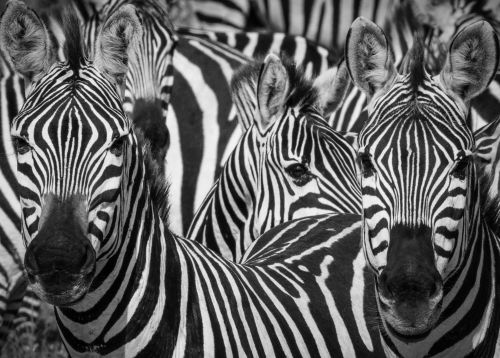 Watching Zebras Watching You - On White