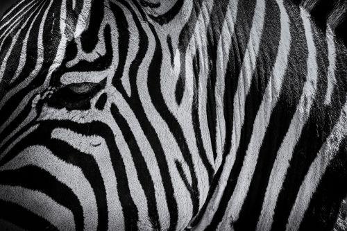 Zebra Eye - On White