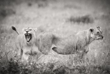 The Lioness Roars